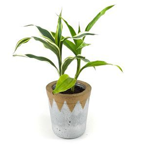 Dracaena Lemon n lime Plant (2 sticks)