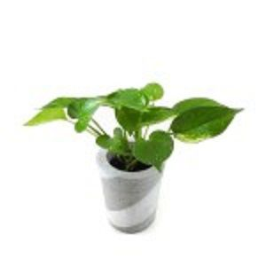 Golden Pothos Plant  |  গোল্ডেন পথোস