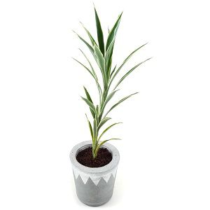 Dracaena Lemon n lime Plant