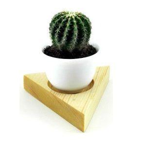 Echino Cactus Plant | এচিনো ক্যাকটাস