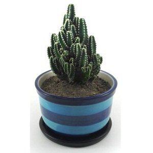 Fairy Castle Cactus Plant | ফেয়ারি ক্যাসল ক্যাকটা