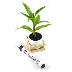 Dracaena Lemon Lime Plant | ড্রেসিনা লেমন লাইম
