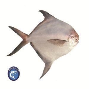 Rupchanda Fish BD | Silver Pomfret Fish BD | Rupchanda Fish