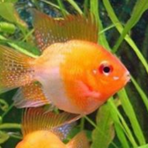 Balloon Gold Ram Aquarium Fish