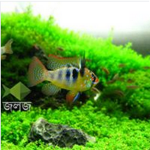 German Blue Ram Cichlid Aquarium Fish
