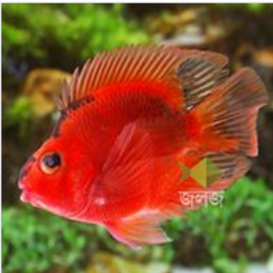 Black and Red Parrot Cichlid Aquarium Fish