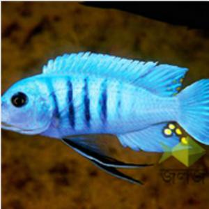 Lake Malawi Cichlid Aquarium Fish