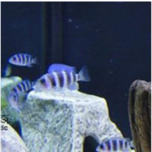 Frantosa Aquarium Fish