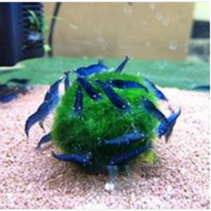Blue Shrimp Aquarium Fish