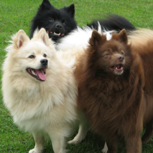 German Spitz Dog Price BD | German Spitz Dog