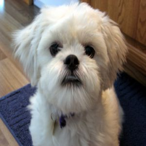 Lhasa Apso Original Dog Price BD | Lhasa Apso Original Dog