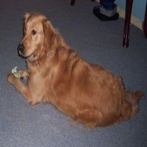 Golden Retriever Dog Price BD | Golden Retriever Dog