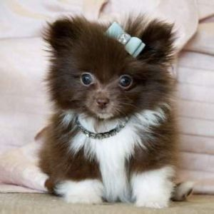 Pomeranian Female Puppy Dog Price BD | Pomeranian Female Puppy Dog