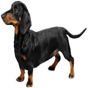Dachshund Dog Price BD | Dachshund Dog Breed