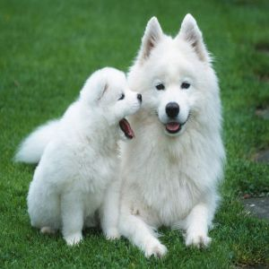 Samoyed Puppy Dog Price BD | Samoyed Puppy Dog