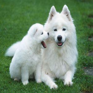 Samoyed Puppy Dog Price BD | Samoyed Puppy Dog