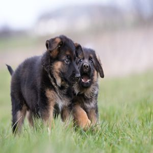 German Shepherd Puppie Dog Price BD | German Shepherd Puppie