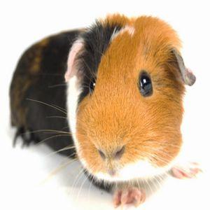 Guinea Pig Price BD | Guinea Pig