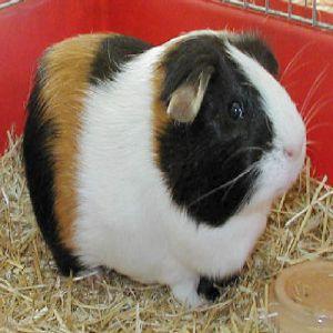 Cute Gini Pig Price BD   Cute Gini Pig