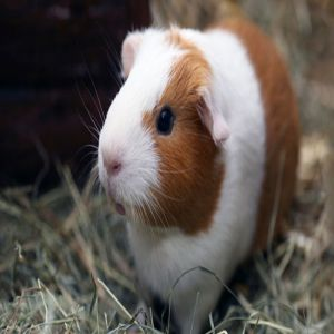 Guinea Pig Care Sheet Price BD | Guinea Pig Care Sheet
