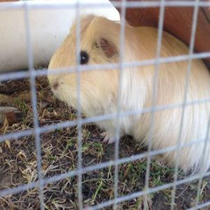 Guinea Pig Adult Price BD | Guinea Pig Adult