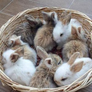 Baby Rabbits Price BD | Baby Rabbits