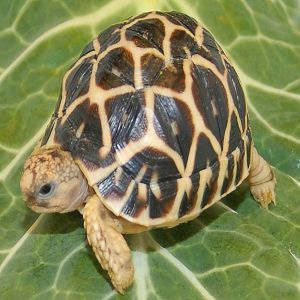 Indian Star Tortoise Price BD | Indian Star Tortoise