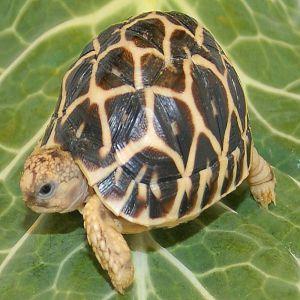 Indian Star Tortoise Price BD | Indian Star Tortoise