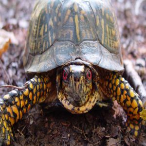 Red Eye Turtle Price BD | Red Eye Turtle