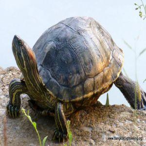 Bangkok Turtle Price BD | Bangkok Turtle