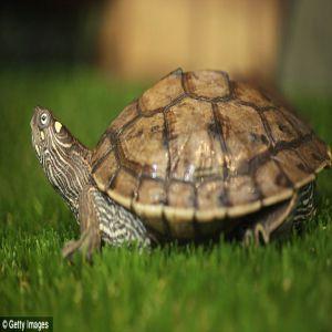 Turtle Price BD   Turtle
