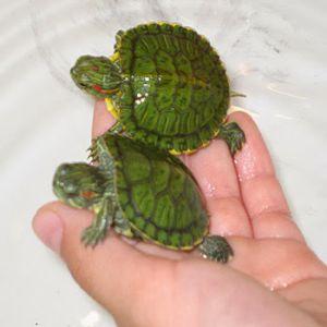 Green Tortoise Price BD | Green Tortoise