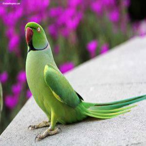 Indian Ringneck Parrot Price BD | Indian Ringneck Parrot
