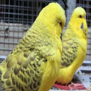 Breeding Budgies Bird Price BD | Breeding Budgies Bird