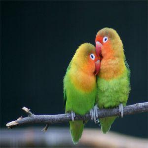 Lovebird Price BD | Lovebirds