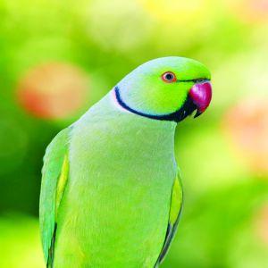Ringneck Parrot Price BD | Ringneck Parrot