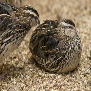 Quail Bird Price BD | Quail Bird