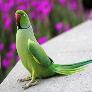 Indian Ringneck Parrot Price BD | Indian Ringneck Parrot Price BD