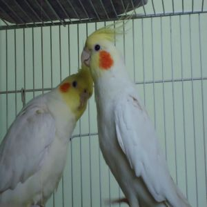 Cocatail Breeding Paira Price BD | Cocatail Breeding Paira